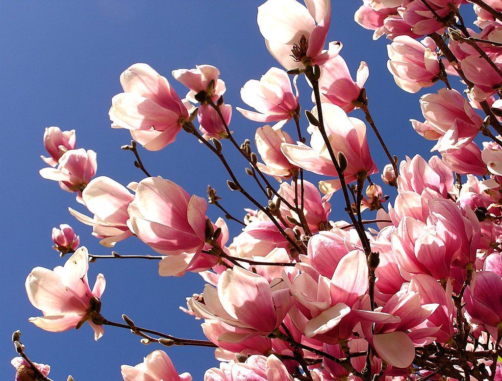 Magnolia tre i blomst